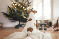 Jack Russel Terrier sitting in front of Christmas tree - KMKF00133