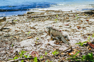 Costa Rica, Limon, Iguana walking on the beach of the Cahuita National Park - KIJF01861