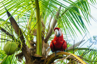 Panama, Red parrot on palm tree - KIJF01873