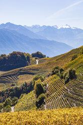 Switzerland, Valais, Montagnon, vineyards - WDF04304