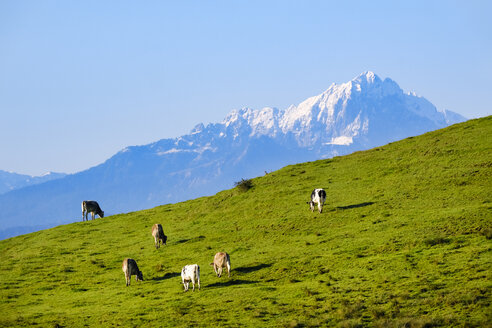 Germany, Bavaria, Allgaeu, cows on meadow near Lechbruck - SIEF07658