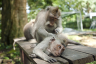 Indonesia, Bali, Sacred Monkey Forest, long tailed macaques - ZCF00609
