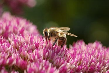 Honeybee on blossom of cauliflower mushroom - SIEF07661