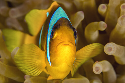 Egypt, Red Sea, Hurghada, red sea anemonefish - YRF00175