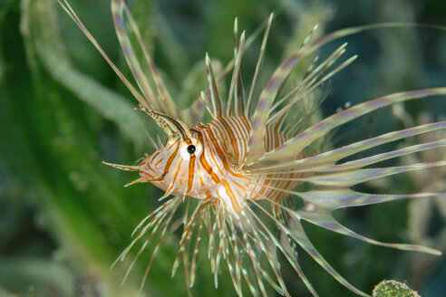Egypt, Red Sea, Hurghada, indian lionfish, pterois miles - YRF00178