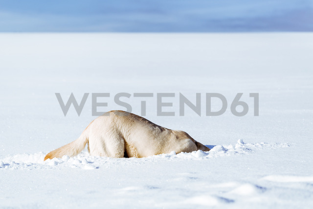 Dog sniffing in snow - WVF00895