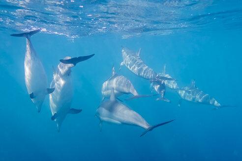 Mauritius, Indian Ocean, bottlenose dolphins, Tursiops truncatus - FOF09736