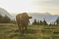 Austria, Tyrol, Mieming Plateau, cow on alpine meadow at sunrise - CVF00058