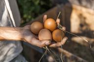 Hand holding chicken eggs - TCF05452
