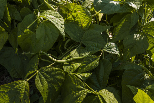 Bush bean growing on field - TCF05458
