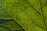 Detail of a savoy leaf - TCF05461