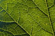 Detail of a savoy leaf - TCF05461