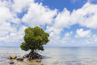 Mauritius, East Coast, Indian Ocean, mangrove tree - FOF09785