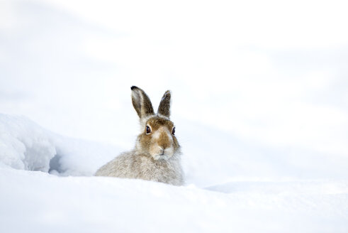 Scotland, Mountain hare, Lepus timidus - MJOF01464