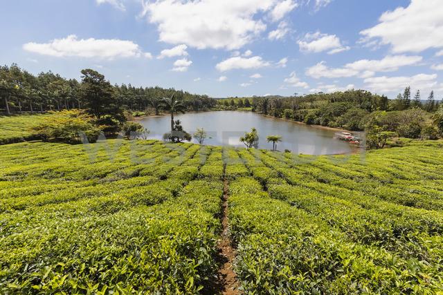 Mauritius, tea plantation - FOF09809