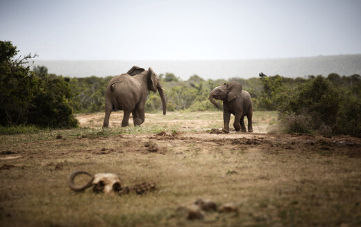 South Africa, Eastern, Cape, Addo Elephant National Park, african elephants, Loxodonta Africana - CVF00082