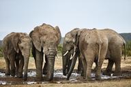 South Africa, Eastern, Cape, Addo Elephant National Park, african elephants, Loxodonta Africana - CVF00085