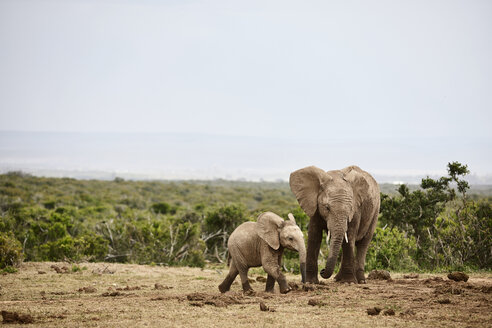 South Africa, Eastern, Cape, Addo Elephant National Park, african elephants, Loxodonta Africana - CVF00091