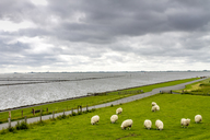 Germany, Schleswig-Holstein, Husum, herd of sheep on dike - PUF01177