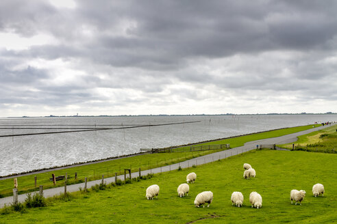 Germany, Schleswig-Holstein, Husum, herd of sheep on dike - PUF01177