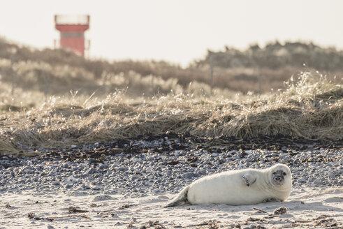 Germany, Helgoland, Duene Island,  grey seal pup lying on the beach - KEBF00716
