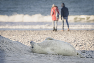 Germany, Helgoland, grey seal pup lying on the beach - KEBF00719