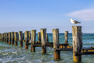 Germany, Mecklenburg-Western Pomerania, Zingst, breakwater and seagull - PUF01231