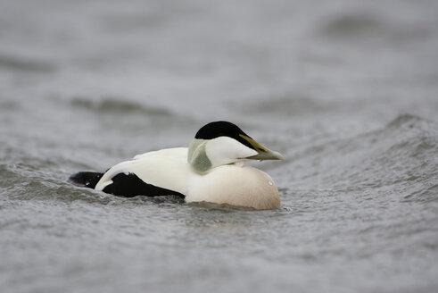 Eider duck, Somateria mollissima - MJOF01467