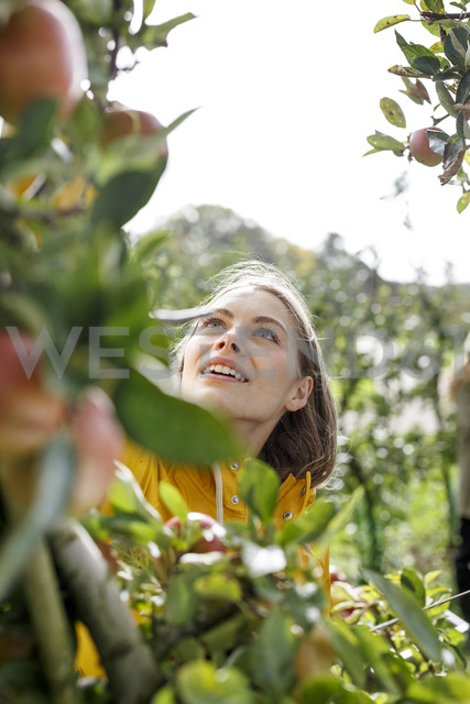 Young woman picking apple from tree in orchard - PESF00889
