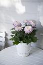 Chrysanthemum in metal bucket - GISF00307