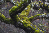 Germany, tree, moss-grown in winter - JTF00895