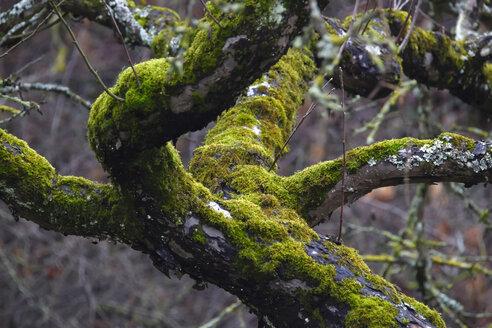 Germany, tree, moss-grown in winter - JTF00895