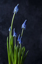 Grape hyacinths - CSF28876