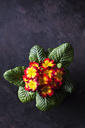 Red and yellow primrose - CSF28879