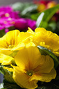 Yellow primrose, close-up - CSF28882
