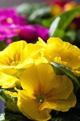Yellow primrose, close-up - CSF28882