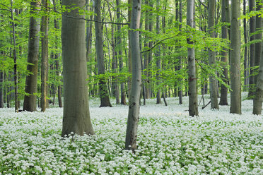 Germany, Thuringia, Hainich National Park, View of ramson and beech trees in forest - RUEF01800
