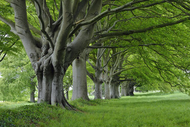 Great Britain, England, Dorset, Old beech trees in a row - RUEF01824