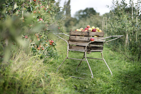 Crate with apples in orchard - PESF00966