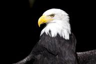 Portrait of bald eagle - MMAF00240