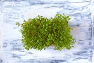 Organic garden cress - JTF00903