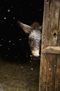 Donkey standing in stable during snowing - FSIF00671