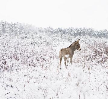 Donkey standing in snowy field - FSIF00680