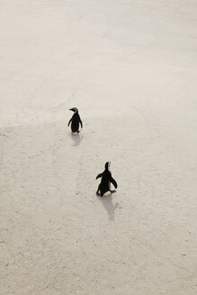 Two penguins walking on sand, Simon's Town, South Africa - FSIF00776