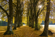 Germany, Bavaria, Upper Bavaria, Kleindingharting, Linden tree alley in autumn - SIEF07717
