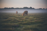Horses grazing on field in foggy weather - FSIF00974
