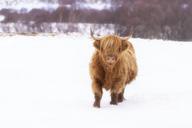 United Kingdom, Scotland, Highlands, highland cattle in winter, snow - SMAF00934