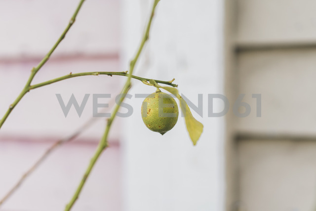 Twigs of lemon tree with single fruit - AFVF00023