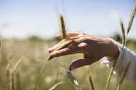 Cropped image of woman's hand touching wheat crop at field - FSIF01660