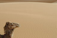 Side view of camel in Erg Chebbi, Morocco - FSIF01879